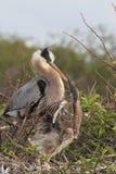 Great Blue Heron Feeding Babies. Great Blue Heron & x28;Ardea Herodias& x29; feeding her hungry babies in the Florida Everglades royalty free stock photography