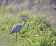 Great Blue Heron Feeding Royalty Free Stock Image