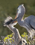 Great Blue Heron Feeds its Young Royalty Free Stock Photography