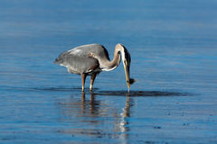 Great Blue Heron with a Fish. Royalty Free Stock Photography