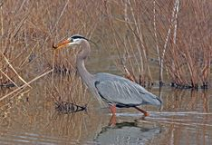 Great Blue Heron with fish Royalty Free Stock Image