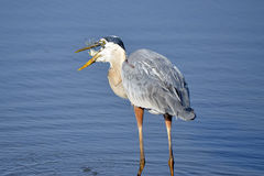 Great Blue Heron With Fish Royalty Free Stock Photos