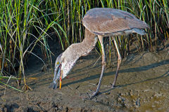 Great Blue Heron With Fish Royalty Free Stock Photography