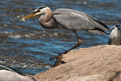 Great Blue Heron with Fish in Beak Stock Image