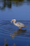 Great Blue Heron with Fish in Beak Royalty Free Stock Image