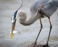 Great Blue Heron with fish bending down Royalty Free Stock Photography