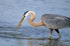 Great Blue Heron With Fish Stock Images