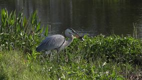 Great blue heron with a fish stock video