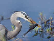 Great Blue Heron with a fish. Great Blue Heron with Sailfin Catfish Stock Photography