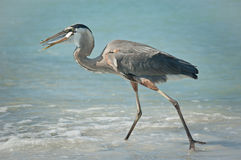 Great Blue Heron With Fish on a Gulf Coast Beach. A Great Blue Heron with a fish in its mouth walking in the shallow waters of a Gulf Coast Florida beach Stock Photography