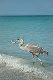Great Blue Heron With Fish on a Gulf Coast Beach Royalty Free Stock Image