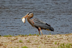 Great Blue Heron with a Fish Stock Photo