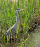 Great Blue Heron during fish hunt. Stock Photo