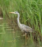 Great Blue Heron during fish hunt. Royalty Free Stock Photos