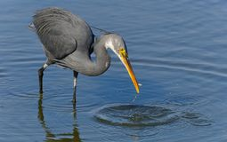 Great Blue Heron With Fish Stock Image