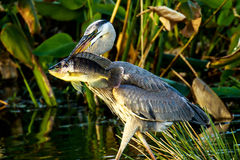 Great Blue Heron with Fish Stock Photo
