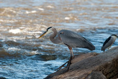 Great Blue Heron Fishing. On Boulders along River Stock Photos