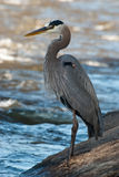 Great Blue Heron Fishing. On Boulders along River Royalty Free Stock Photos