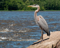 Great Blue Heron Fishing. On Boulders along River Royalty Free Stock Photo