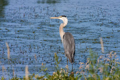 Great Blue Heron Fishing Royalty Free Stock Images