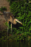 Great Blue Heron Fishing Royalty Free Stock Photography