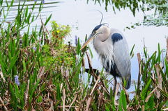 Great Blue Heron Fishing Royalty Free Stock Photo