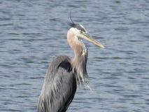 Great blue heron. Blue heron fishing Royalty Free Stock Images