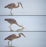 Great blue heron fishing action series Stock Images