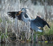 Great Blue Heron Fishing. A Great Blue Heron catches a fish Stock Images