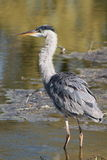 Great Blue Heron fishing for dinner Royalty Free Stock Images