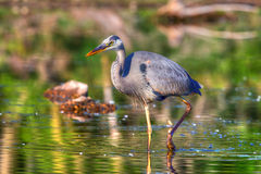 Great Blue Heron Fishing in hdr Stock Photography