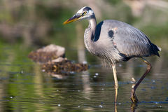 Great Blue Heron Fishing in HDR Royalty Free Stock Images