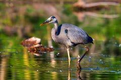 Great Blue Heron Fishing in High Dynamic Range Royalty Free Stock Photo