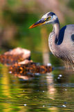 Great Blue Heron Fishing in High Dynamic Range Royalty Free Stock Photos