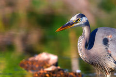 Great Blue Heron Fishing in High Dynamic Range Stock Images