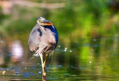 Great Blue Heron Fishing in High Dynamic Range Royalty Free Stock Image