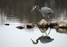 Great Blue Heron fishing in a lake Stock Photos