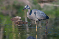 Great Blue Heron Fishing Stock Photos