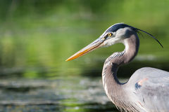 Great Blue Heron Fishing Stock Image
