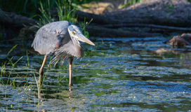Great Blue Heron Fishing Stock Images