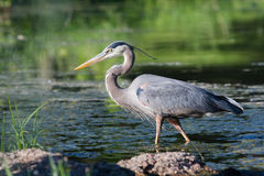 Great Blue Heron Fishing Royalty Free Stock Image