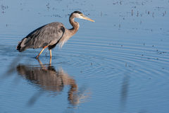 Great Blue Heron fishing Stock Photography