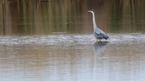 Great Blue Heron stock video