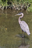 Great Blue Heron Fishing for Lunch. Great Blue Heron (Herodias ardea)stalking lunch in Fishing Creek, Chesapeake Beach, Maryland USA stock images