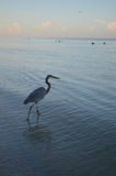 Great Blue Heron Fishing in Shallow Waters. Great blue heron looking for fish in shallow waters stock images