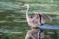 Great Blue Heron fishing in soft focus Royalty Free Stock Images