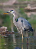 Great Blue Heron Fishing in soft focus Stock Image