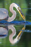 Great Blue Heron Fishing in soft focus Stock Photography