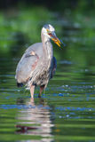 Great Blue Heron Fishing in soft focus Royalty Free Stock Photos