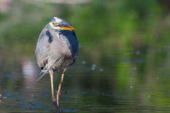 Great Blue Heron Fishing in soft focus Stock Photo